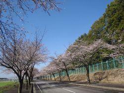 sakurasaku20120412.jpg