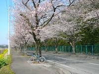 Sakura20090407.jpg